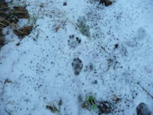 Otter prints on snow beside River Almond