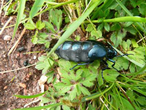 Violet oil beetle