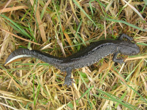Species such as great crested newt require to be identified at an early stage in order to ensure legal