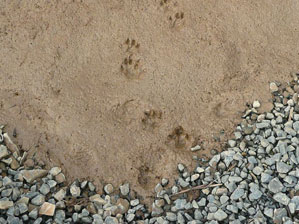 Otter footprints
