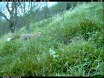 Fox at a badger sett