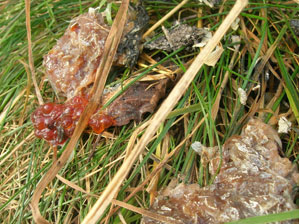 Otter spraint with salmon roe and skin